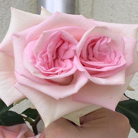 Mert a rózsa tudja